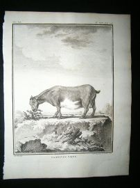 Buffon: C1770 Dwarf Goat, Antique Print